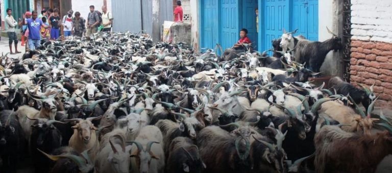 दसैँलाई लक्षित गरी १७ हजार भेँडाच्याङ्ग्रा निकासी